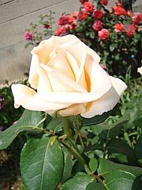 完全盛开的单支乳白色的月季花