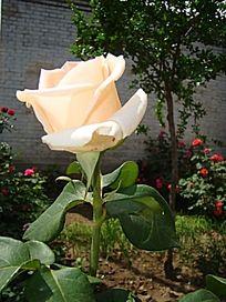 小朵单支乳白色的月季花