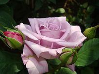 雪青色玫瑰