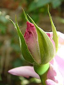 雪青色玫瑰和雪青色玫瑰的花骨朵