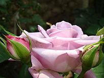 雪青色玫瑰花