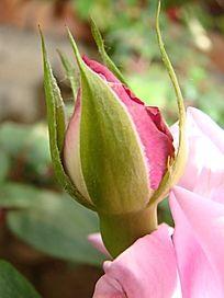 雪青色玫瑰花苞