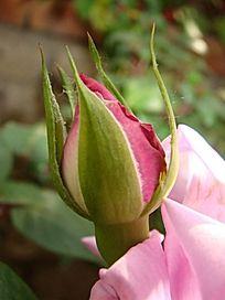 雪青色玫瑰花骨朵