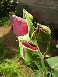 月季花 花苞 花骨朵