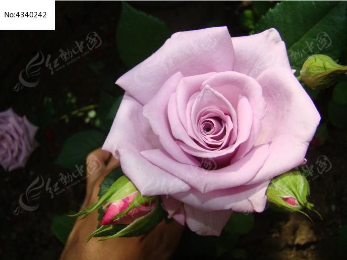 正面特写雪青色玫瑰图片