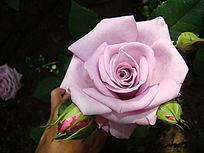 正面特写雪青色玫瑰