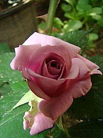 正面特写紫色玫瑰花
