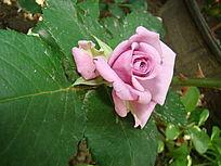 紫罗兰色玫瑰花