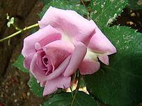 紫色玫瑰花
