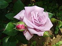 紫色玫瑰花和花骨朵