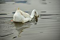 头部埋入水中的鹅
