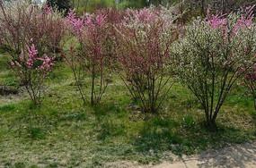 草地上的桃树
