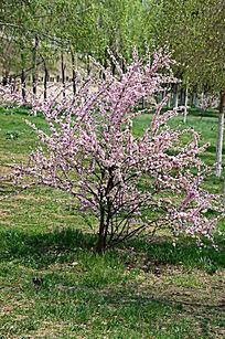 好看的桃树