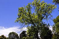 蓝天下的一棵树