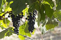 两串酿酒小黑葡萄