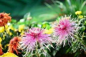 两朵粉色金丝菊花