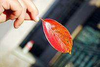 拿着的一片红叶