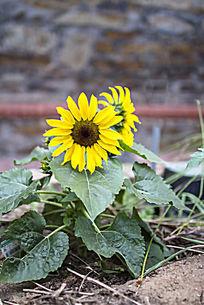 一株小小的向日葵花