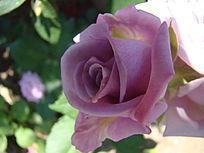早开得青莲紫色玫瑰