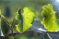 枝藤上的葡萄叶子