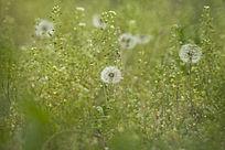 草地里的蒲公英
