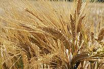成熟的大麦