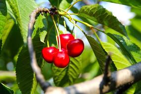 大红鲜樱桃