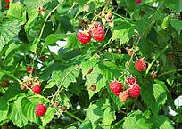 大兴安岭树莓