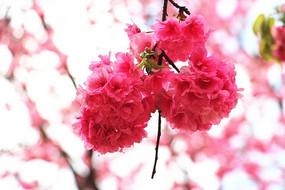 粉色樱花图片素材