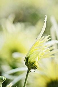 含苞待放黄菊