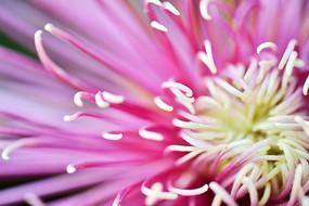 菊花花蕾微距