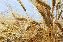 蓝天下金黄大麦穗