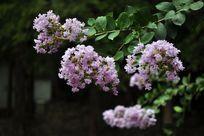 绿色叶子下的紫薇花