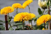 秋日黄色小雏菊