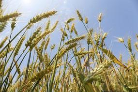 五月的丰收麦穗