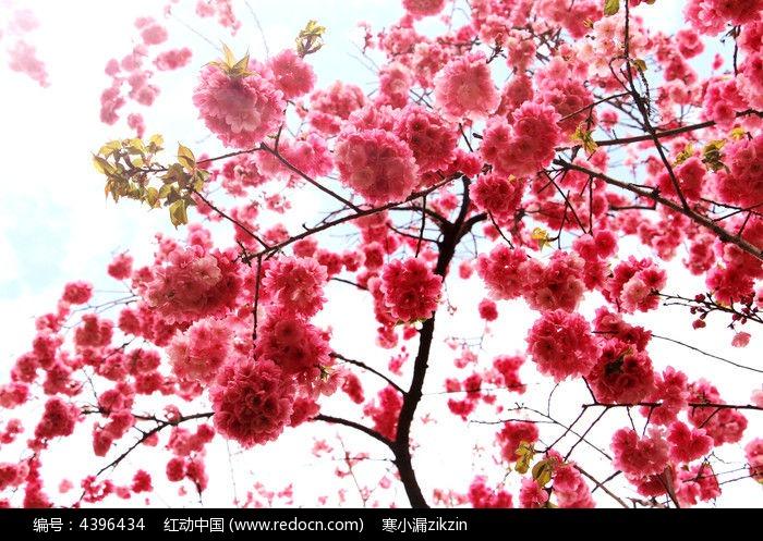 绚丽粉色樱花图片素材图片