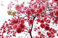绚丽粉色樱花图片素材