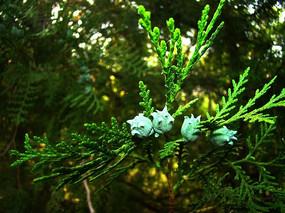 松柏的蓝色花朵