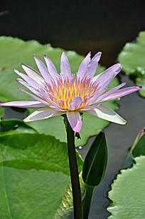 清新淡雅的白粉色莲花