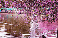 樱花树下的鸭子