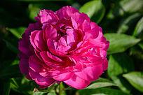 紫红色芍药大花朵