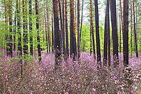 杜鹃花怒放的松林风景