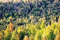 漠河县的火烧迹地森林秋色