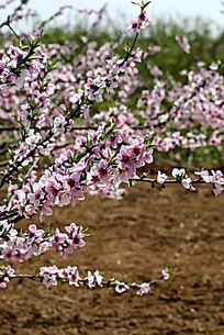 盛开的粉红色桃花