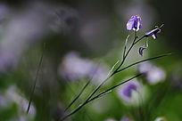 盛开的蓝色野花