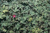绿色植物中的一朵红花