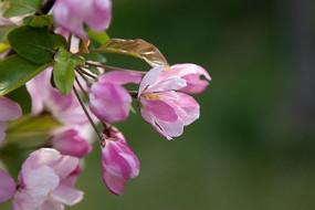清新的海棠花