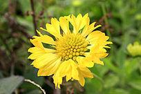 黄色开放的小野菊