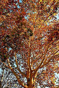 秋天金黄色的大树