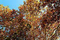 秋天金黄色的法桐大树树冠